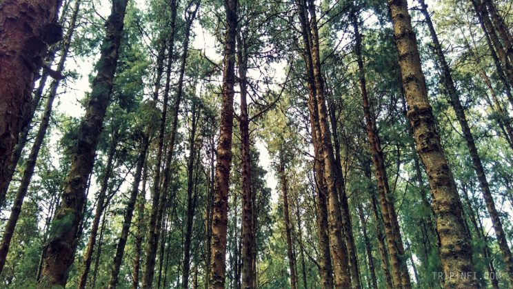 Ooty Pine forest