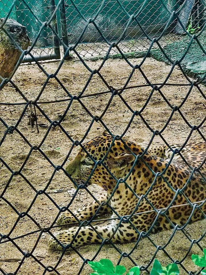 tiger in tata zoo in jamshedpur